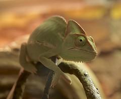 Lizard (billcoo) Tags: macro green nature flickr bokeh vietnam explore