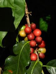 Coffee Beans (outdoorPDK) Tags: maui coffeebeans