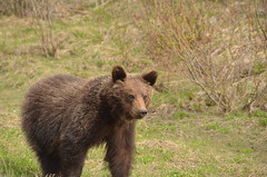 Happy Little Bear (Hello, It's Me (off for a while)) Tags: bear canada danger britishcolumbia wildlife columbia canadian ridge british grizzly predator tumbler omnivore