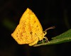 Butterfly Moth (Tetragonus catamitus, Callidulidae) (John Horstman (itchydogimages, SINOBUG)) Tags: insect macro china yunnan itchydogimages sinobug moth lepidoptera callidulidae fbm tweet black entomology