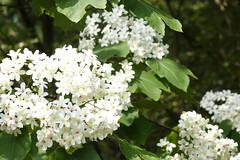 Tung flowers (ddsnet) Tags: plant flower sony cybershot     rx10 maysnow tungflowers