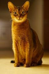 I am Lizzie! (DizzieMizzieLizzie) Tags: abyssinian aby beautiful wonderful lizzie dizziemizzielizzie portrait cat chats feline gato gatto katt katze katzen kot meow mirrorless pisica sony a6500 sonnar za zeiss