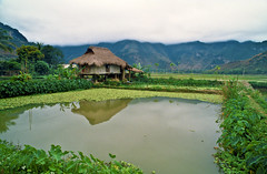 """"""" Mountain Village in Vietnam """" © 2000 by Silva Wischeropp aka Silva Capitana (SILVA CAPITANA) Tags: vietnam mountain landscape travel asia southeastasia village nature northvietnam mountainvillage green greenplants plants ricepaddies rice greenfields fields agriculture littlevillage hill foggymountain fog foggy asianimpression travelphotography photo ricefields northwestvietnam ethnicvillage ethnicminorities trees tree palms water lake meadow greenmeadow paddies travelphoto vietnamtravel highland"""