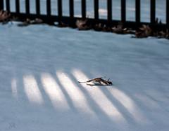 alone again, naturally (marianna_a.) Tags: fence light shadow lines stripes oak leaf white snow mariannaarmata hff
