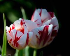 Tulips (Gary P Kurns Photography) Tags: nikon flowers oklahoma closeup flowersplants events 105macro creative macro places nikondf elreno unitedstates us