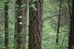 Squaw Creek (Tony Pulokas) Tags: mccloudriver forest oldgrowth douglasfir tree california spring squawcreek dogwood pacificdogwood californiadogwood westerndogwood cornus flower leaf blur bokeh