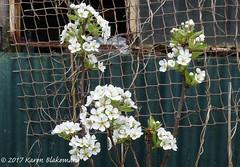 March 30th, 2017 Pear blossom (karenblakeman) Tags: cavershamgarden caversham uk pear blossom flowers 2017 2017pad march