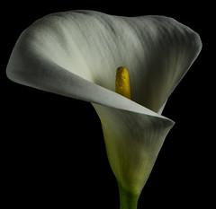 Shapes And Shadows Of A Calla (Bill Gracey 15 Million Views) Tags: callalily fleur flower flor filllight softbox yongnuorf603n sidelighting shapes shadows color green yellow garden