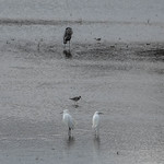 Great Blue Heron, Lesser Yellowlegs, Snowy Egret thumbnail