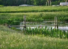 Green Challenge (Corgibird) Tags: green greensnake coots americancoots party lily waterlily waterbirds waterdroplets dock marsh jewlery humor pod seedpod shadows