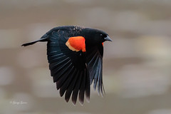 Red-wing Blackbird (Photos_By George) Tags: bird birdsinflight blackbirds birds redwingblackbirds