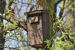 Getting the house ready (tomas.jezek) Tags: birdhouse bird tree parus nature spring leafs green brown branches
