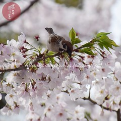 (finalistJPN) Tags: cherryblossom sparrow spring afternoon birder wildbird discoverjapan nationalgeographic discoverychannel tripjapan visitjapan japanguide lonelyplanet planetearth japanphoto