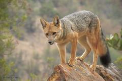 Zorro culpeo  - Culpeo fox - Lycalopex culpaeus) (Javier Gross) Tags: zorro fox lycalopex lycalopexculpaeus chile faunadechile animals wildanimals wildlife fauna mammals mammal naturaleza nature naturephotography