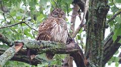 Eye Shadow Diva (Kaptured by Kala) Tags: barredowl strixvaria owl whiterocklake dallastexas nearsunsetbay nocturnal raptor femalebarredowl wetfeathers mother mamaowl eyelids