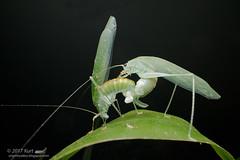 Mating Katydids_MG_5951 copy (Kurt (OrionHerpAdventure.com)) Tags: katydid orthoptera mating