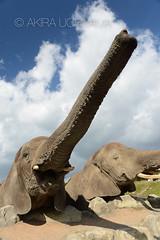 DSC_4583131111 (Akira Uchiyama) Tags: ほ乳類 アフリカ アフリカゾウ ゾウ 動物たちのいろいろ 生息地 鼻 鼻アフリカゾウ