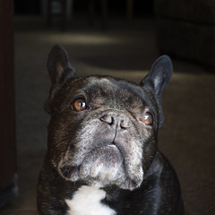 Light & Shadow (Lainey1) Tags: oz ozzy dog frenchie bulldog lainey1 elainedudzinski frogdog zendog frenchbulldog ozzythefrenchie