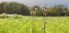 Bain de soleil (nathaliedunaigre) Tags: nature herbes wildgrass wildflowers fleurssauvages bokeh effetbokeh lumière light champ field sun sunny soleil ensoleillé