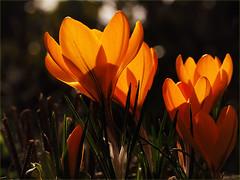 Spring (Ostseeleuchte) Tags: krokus frühling spring crocus szafran krokussläktetsahramit krokusslekta brândușă шафран happyweekend
