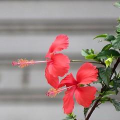 red...red... (Marcilia Bevitori) Tags: marciliabevitori minasgerais beauties aoarlivre beautiful ngc brasilemimagens natureza nature garden red hibiscus