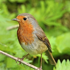 Robin (Bogger3.) Tags: robin venuspool redbreast sunnyday canon600d tamron150x600lens coth coth5