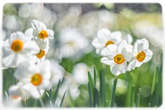 Frühling (SonjaS.) Tags: blumen flowers gelb osterglocken narzissen canon6d makro oldlens 50mm pantacon meyergörlitz spring frühling inselmainau