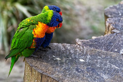 Bird Talk (Alfred Grupstra) Tags: hoenderdaell animal bird bokeh couple dof wood annapaulowna noordholland nederland nl parrot nature wildlife feather multicolored beak pets red tropicalclimate greencolor closeup yellow outdoors blue animalsinthewild beautyinnature nopeople animalwing