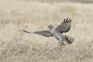 Northern Harrier (M)