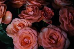 DSC_4727 (PeaTJay) Tags: nikond750 reading lowerearley berkshire macro micro closeups gardens indoors nature flora fauna plants flowers bouquet rose roses rosebuds