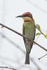 Chestnut-headed Bee-eater (steve happ) Tags: chestnutheadedbeeeater srilanka tissamaharama