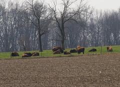 IMG_2004-1 Bison (John Pohl2011) Tags: sx50hs canon pohl animal mammal farm john canonsx50hs