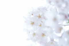 Color of April : White (Colorful-wind) Tags: 2017 april cherry color flower fujifilm fukuoka japan kitakyushu light lightandshadow nature softfocus softness white xt1