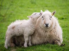 Spring Time (Howie Mudge LRPS BPE1*) Tags: ewe sheep lamb grass field outside outdoors animal nature panasonicdmcg80 microfourthirds m43 mft compactsystemcamera mirrorlesscamera lumixgvario100300f4056ii