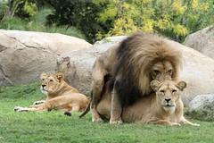 Lions d'Angola (olivier.ghettem) Tags: bioparcvalencia valence valencia espagne lion lionne lions liondangola lionnedangola afrique africa savane spain carnivore carnivores felin felins