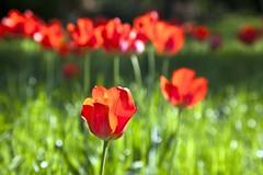 Jours tranquilles à Bagatelle (Gerard Hermand) Tags: 1704067399 gerardhermand france paris canon eos5dmarkii formatpaysage tulipe tulip rouge red vert green fleur flower parc bagatelle park pdc dof