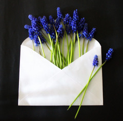 _a spring letter for YOU !!! (SpitMcGee) Tags: traubenhyazinthen muscari asparagaceae brief letter frühling spring fürdich foryou spitmcgee