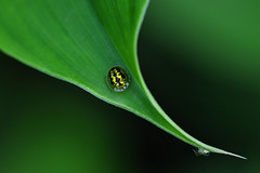 Less than a Centimeter size beetle, Tortoise Beetle (Cassidinae ) (natureloving) Tags: cassidinae tortoisebeetle beetle insect macro nature india natureloving nikon d90 afsvrmicronikkor105mmf28gifed