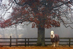 The White Horse (Alan1954) Tags: horse storrington walking nature foggy 2017 sussex platinumpeaceaward platinumheartaward