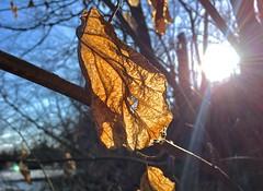 #Leavesinthesun #deadleaves #mikeLiebler #winterleaves #wintersnow #winterlakes #icelakes #CT (mikeliebler222) Tags: leavesinthesun deadleaves mikeliebler winterleaves wintersnow winterlakes icelakes ct leaves sunsets nature winter