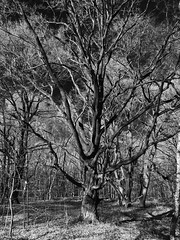 The Tree (TitusT1960) Tags: nature blackandwhite schwarzundweis monochrome bw ast wald natur tree baum