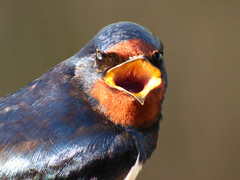 Swallow (Peanut1371) Tags: swallow bird mouth red blue nationalgeographicwildlife
