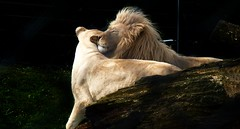 Love Is In The Air (Daphne-8) Tags: lion löwe white weiss wildlife katze cat animal raubtier predator zoo lioness löwin love liebe kiss küss ear ohr affection