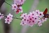 Colors of Spring (mg_sbf) Tags: april spring color colour colors colours flower flowers pink yellow bahar çiçek çiçekler renk renkler ankara turkey türkiye 2017