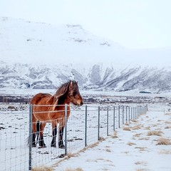 Fenced (Dan Fleury) Tags: icelandic mountains rugged though fence field travel winter wild wildlife outdoor horse iceland south is