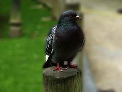 23-05-2013 016 (Jusotil_1943) Tags: 23052013 paloma pigeon desenfoque selectivo