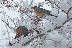 April Fool's Day in Maine! 001 (smilla4) Tags: berries birds robins aprilfoolsday maine