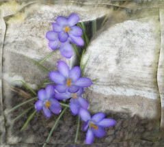 Spring flower. (Bessula) Tags: bessula nature flower spring crocus stones creation garden plant lilac