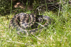 Male Adders (Dan Kemsley) Tags: adder snake reptile cannock chase aonb canon 50d vipera berus common viper european dan kemsley