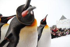 Penguin Attack!! (XenteRR) Tags: canon penguin attack cute animal hokkaido japan adorable